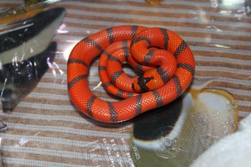 [http://snakes.wbl.sk/lampropeltis/hondy/IMG_0491.J PG]
