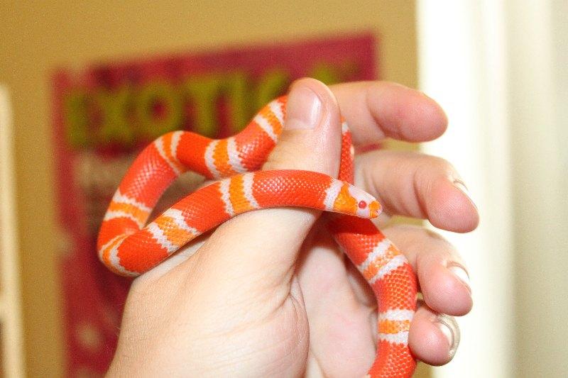 [http://snakes.wbl.sk/lampropeltis/hondy/IMG_0516.J PG]